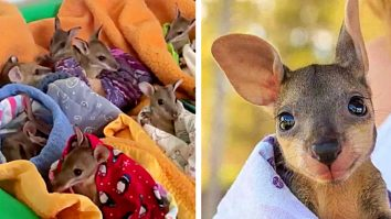 Learn to make a Joey Pouch for the poor displaced kangaroos in Australia